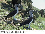 Купить «Pair of Blue footed boobies {Sula nebouxii} Daphne Major Is, Galapagos», фото № 25433818, снято 7 июля 2020 г. (c) Nature Picture Library / Фотобанк Лори