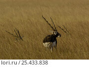 Blackbuck (Antelope cervicapra) male in grassland, note horns of others resting in the grass, Velavadar National Park. Gujarat. India. Стоковое фото, фотограф Pete Oxford / Nature Picture Library / Фотобанк Лори