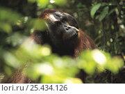Orangutan {Pongo pygmaeus} amongst vegetation, Tanjung Puting NP, Kalimantan, Borneo, Indonesia. Стоковое фото, фотограф Nature Production / Nature Picture Library / Фотобанк Лори