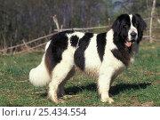 Купить «Domestic dog - Landseer / Newfoundland standing.», фото № 25434554, снято 23 апреля 2018 г. (c) Nature Picture Library / Фотобанк Лори
