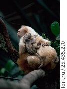 Купить «Silky / Golden white tassel ear Marmoset (Mico chrysoleucos / Callithrix chrysoleuca) adult carrying baby on back, Amazonia, Brazil», фото № 25435270, снято 17 ноября 2019 г. (c) Nature Picture Library / Фотобанк Лори