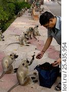 Купить «Man feeding Southern plains grey / Hanuman langur {Semnopithecus dussumieri}, Mandore, nr Jodhpur. Rajasthan. India 2006», фото № 25435954, снято 22 марта 2019 г. (c) Nature Picture Library / Фотобанк Лори