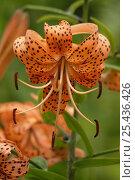 Купить «Tiger lily (Lilium lancifolium, formerly Lilium tigrinum) flower.», фото № 25436426, снято 17 июля 2018 г. (c) Nature Picture Library / Фотобанк Лори
