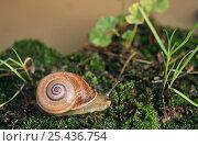 Купить «Snail (Otala sp) Spain», фото № 25436754, снято 20 сентября 2018 г. (c) Nature Picture Library / Фотобанк Лори