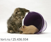 Купить «Tabby kitten with hamster in a metal bucket.», фото № 25436934, снято 15 октября 2018 г. (c) Nature Picture Library / Фотобанк Лори