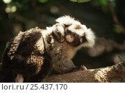 Купить «Santarem marmoset carrying baby (Callithrix humeralifer) Amazonia, Brazil», фото № 25437170, снято 17 ноября 2019 г. (c) Nature Picture Library / Фотобанк Лори