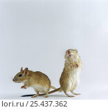 Купить «Pair of Shaw's Jirds / Gerbils (Meriones shawi) standing on their hind legs», фото № 25437362, снято 15 октября 2018 г. (c) Nature Picture Library / Фотобанк Лори