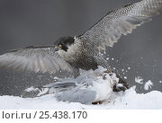 Peregrine falcon (Falco peregrinus) feeding on Common gull in winter, Cairngorms National Park, Scotland, UK- falconer's bird. Стоковое фото, фотограф Pete Cairns / Nature Picture Library / Фотобанк Лори