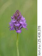 Купить «Pyramidal orchid (Anacamptis pyramidalis)  Bedfordshire UK. July 2006», фото № 25438378, снято 23 июля 2018 г. (c) Nature Picture Library / Фотобанк Лори