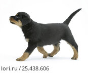 Rottweiler pup walking. Стоковое фото, фотограф Jane Burton / Nature Picture Library / Фотобанк Лори