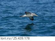 Salvin's albatross {Thalassarche salvini} Kaikoura, South Island, New Zealand. Стоковое фото, фотограф MIKE POTTS / Nature Picture Library / Фотобанк Лори