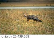 Culpeo fox {Pseudolopex culpaeus} Nr Torres del Paine, Patagonia, Chile. Стоковое фото, фотограф Martha Holmes / Nature Picture Library / Фотобанк Лори