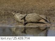 Купить «Warthog (Phacoecerus aethiopicus) wallowing in mud, Savuti channel, Botswana, Southern-Africa», фото № 25439714, снято 24 марта 2019 г. (c) Nature Picture Library / Фотобанк Лори