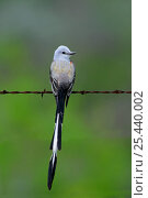 Купить «Portrait of Scissor-tailed Flycatcher (Tyrannus forficatus) perched on a wire, a returning migrant, Spring, Texas, USA», фото № 25440002, снято 17 августа 2018 г. (c) Nature Picture Library / Фотобанк Лори