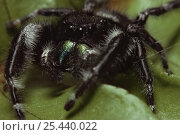 Jumping spider {Phidippus audax} Illinois, USA. Стоковое фото, фотограф Lynn M Stone / Nature Picture Library / Фотобанк Лори