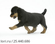 Two Rottweiler pup, 8 weeks old, walking. Стоковое фото, фотограф Jane Burton / Nature Picture Library / Фотобанк Лори