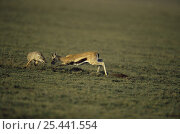 Thomson's gazelle {Gazella thomsonii} chasing off a marauding Golden jackal {Canis aureus}  Ngorongoro conservation area, Tanzania. Стоковое фото, фотограф Anup Shah / Nature Picture Library / Фотобанк Лори