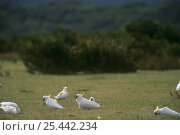 Купить «Flock of Sulphur crested cockatoos {Cacatua galerita} grazing on ground, Wilsons Promontory NP, Australia», фото № 25442234, снято 19 января 2019 г. (c) Nature Picture Library / Фотобанк Лори