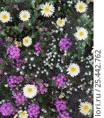 Купить «Desert dandelion {Malacothrix californica}, Sand verbena {Abronia villosa} and Popcorn flower {Cryptantha sp} Sierra Calamajue, Baja California, Mexico», фото № 25442762, снято 17 августа 2018 г. (c) Nature Picture Library / Фотобанк Лори