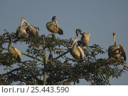 Купить «Spot-billed Pelicans (Pelecanus philippensis) preening and roosting in tree top, Assam, India», фото № 25443590, снято 21 апреля 2019 г. (c) Nature Picture Library / Фотобанк Лори