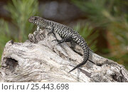Купить «Cunningham's Skink {Egernia cunninghami} sunning itself on log, The Australian Reptile Park, New South Wales, Australia», фото № 25443698, снято 5 июля 2020 г. (c) Nature Picture Library / Фотобанк Лори