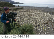 Doug Allan, cameraman, filming King Penguin rookery (Aptenodytes patagoni) Right Whale Bay, South Georgia, for BBC 'Life in the Freezer', 1998. Стоковое фото, фотограф Doug Allan / Nature Picture Library / Фотобанк Лори