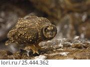 Купить «Short-eared owl (Asio flammeus galapagoensis) with Storm petrel prey. Tower / Genovesa Is, Galapagos», фото № 25444362, снято 16 февраля 2019 г. (c) Nature Picture Library / Фотобанк Лори