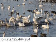 Купить «Whooper swans fighting {Cygnus cygnus} amongst other waterfowl, Martin mere WWT reserve, Lancashire, UK», фото № 25444954, снято 22 июля 2018 г. (c) Nature Picture Library / Фотобанк Лори