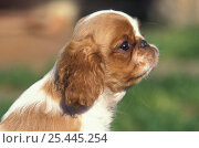 Domestic dog, Cavalier King Charles Spaniel puppy profile. Стоковое фото, фотограф Adriano Bacchella / Nature Picture Library / Фотобанк Лори