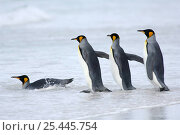 Group of King penguins {Aptenodytes patagonicus} in file, entering shallow surf, Falkland Islands. Стоковое фото, фотограф Solvin Zankl / Nature Picture Library / Фотобанк Лори