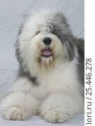 Купить «Domestic dog, Old English Sheepdog / Bobtail studio portrait», фото № 25446278, снято 20 августа 2018 г. (c) Nature Picture Library / Фотобанк Лори