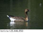 Купить «Pink footed goose (Anser brachyrhynchus) on water, UK», фото № 25446850, снято 4 июля 2020 г. (c) Nature Picture Library / Фотобанк Лори