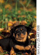 Domestic dog, Rottweiler puppy lying among leaves. Стоковое фото, фотограф Adriano Bacchella / Nature Picture Library / Фотобанк Лори