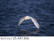Snowy Egret (Egretta thula) in flight over water, Sanibel Island, Florida, USA. December 1998. Стоковое фото, фотограф Rolf Nussbaumer / Nature Picture Library / Фотобанк Лори