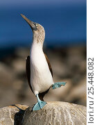 Купить «Blue footed booby 'dancing' display (Sula nebouxii) Galapagos», фото № 25448082, снято 7 июля 2020 г. (c) Nature Picture Library / Фотобанк Лори