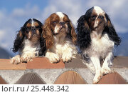 Domestic dog, three Cavalier King Charles Spaniel. Стоковое фото, фотограф Adriano Bacchella / Nature Picture Library / Фотобанк Лори