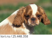 Domestic dog, Cavalier King Charles Spaniel puppy portrait. Стоковое фото, фотограф Adriano Bacchella / Nature Picture Library / Фотобанк Лори