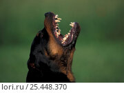 Domestic dog, Rottweiler looking up and barking. Стоковое фото, фотограф Adriano Bacchella / Nature Picture Library / Фотобанк Лори