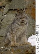 Canadian Lynx {Lynx lynx canadensis} Captive. Стоковое фото, фотограф Dave Watts / Nature Picture Library / Фотобанк Лори