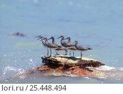 Купить «Grey-tailed tattlers {Tringa brevipes} perched on rock at high tide, Western Australia», фото № 25448494, снято 21 ноября 2019 г. (c) Nature Picture Library / Фотобанк Лори