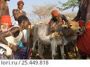 Купить «Bleeding of the cow by Samburu warriors. Samburu people live on a diet of blood and milk.  Masai mara, Kenya. 2005.», фото № 25449818, снято 10 июля 2020 г. (c) Nature Picture Library / Фотобанк Лори