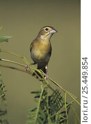 Купить «Female Dickcissel (Spiza americana) Lake Corpus Christi, Texas, USA. May 2003», фото № 25449854, снято 21 августа 2018 г. (c) Nature Picture Library / Фотобанк Лори