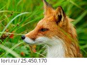 Red fox {Vulpes vulpes} head profile, Kronotsky Zapovednik Reserve, Kamchatka, Russia. Редакционное фото, фотограф Igor Shpilenok / Nature Picture Library / Фотобанк Лори
