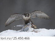 Peregrine falcon (Falco peregrinus) feeding on Common gull in winter, Cairngorms National Park, Scotland, UK - falconer's bird. Стоковое фото, фотограф Pete Cairns / Nature Picture Library / Фотобанк Лори