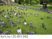 Купить «Feral pigeons / Rock doves {Columba livia} in city park. Edinburgh, Scotland, UK.», фото № 25451042, снято 19 августа 2018 г. (c) Nature Picture Library / Фотобанк Лори