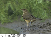 Купить «Clay-colored Thrush (Turdus grayi) next to water Rio Grande Valley, Texas, USA. May 2002», фото № 25451154, снято 21 августа 2018 г. (c) Nature Picture Library / Фотобанк Лори