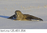 Купить «Great Grey Owl (Strix nebulosa) landing on rodent prey in snow, Liminka Finland February 2005», фото № 25451354, снято 18 июля 2018 г. (c) Nature Picture Library / Фотобанк Лори