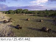 Aldabran giant tortoises (Geochelone gigantea) feeding on 'tortoise turf', Picard Island, Aldabra Atoll, Seychelles, Indian Ocean. Стоковое фото, фотограф Pete Oxford / Nature Picture Library / Фотобанк Лори