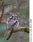 Купить «Hawk Owl (Surnia ulula) with feathers fluffed up, Finland», фото № 25451598, снято 19 февраля 2019 г. (c) Nature Picture Library / Фотобанк Лори
