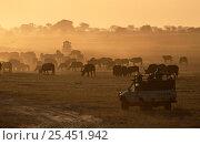 Купить «Safari vehicles viewing Buffalo herd {Syncerus caffer} at dusk, South Africa», фото № 25451942, снято 23 июля 2018 г. (c) Nature Picture Library / Фотобанк Лори